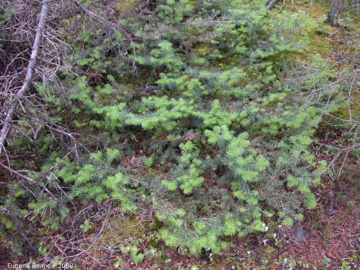 IMG 2008-Jul10 at RancheriaFalls-YT:  Balsam fir (Abies balsamea) with prostrate growth-habit