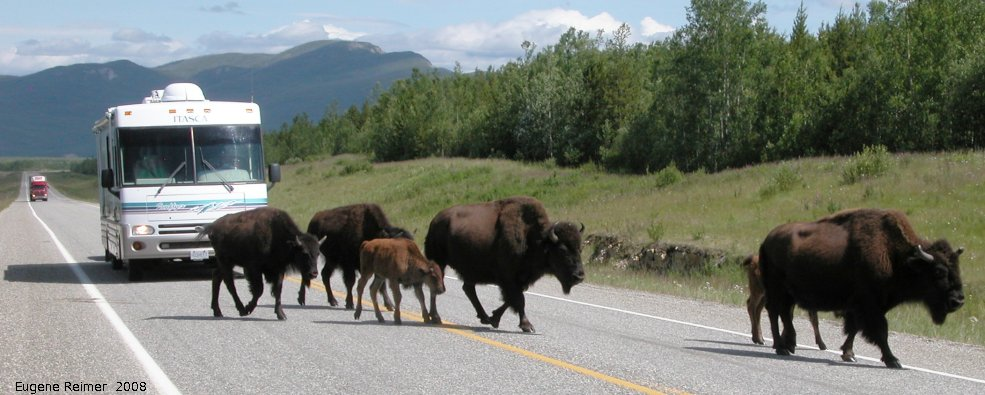 IMG 2008-Jul11 at Alaska-Hwy approx 100km SE of Watson-Lake-YT:  Wood bison (Bison bison athabascae) many crossing road