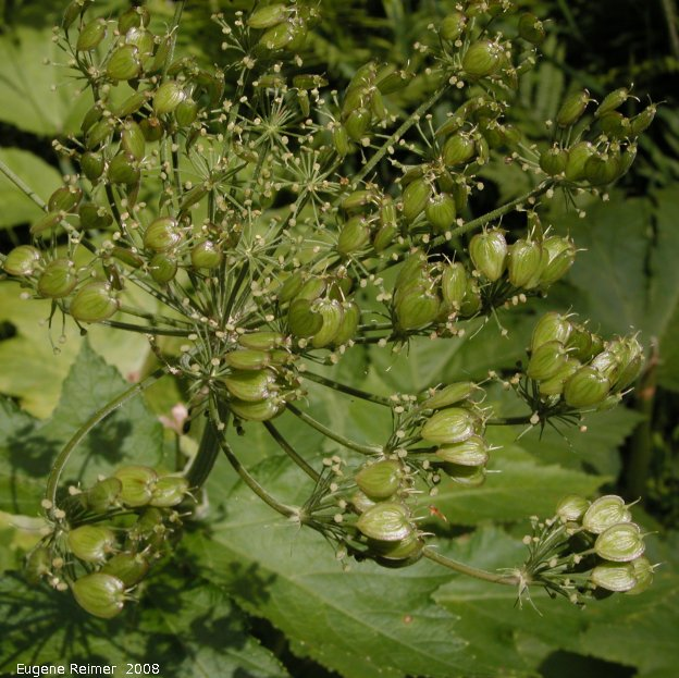 IMG 2008-Jul11 at Liard Hotsprings-BC:  Cow parsnip (Heracleum maximum) seeds