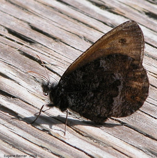 IMG 2008-Jul11 at Liard Hotsprings-BC:  Eyed brown butterfly (Satyrodes eurydice)