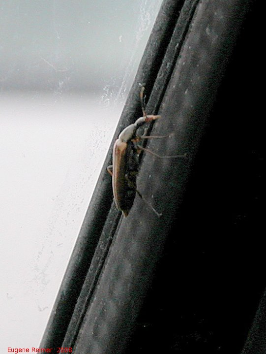 IMG 2008-Jul11 at Alaska-Hwy near Muncho-Lake-BC:  Beetle (Coleoptera sp) on car-window
