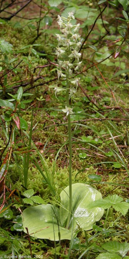 IMG 2008-Jul16 at the WagnerBog near Edmonton:  Round-leaved rein-orchid (Platanthera orbiculata) plant