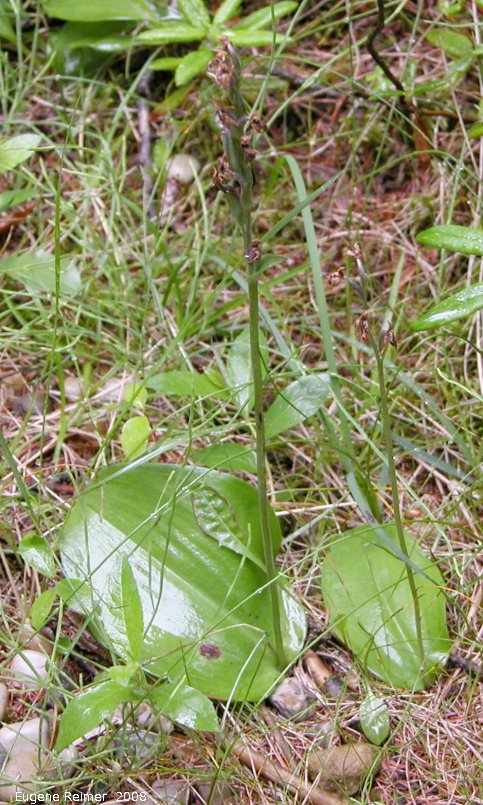 IMG 2008-Jul16 at the WagnerBog near Edmonton:  Small round-leaved orchid (Amerorchis rotundifolia) plant with pods bad