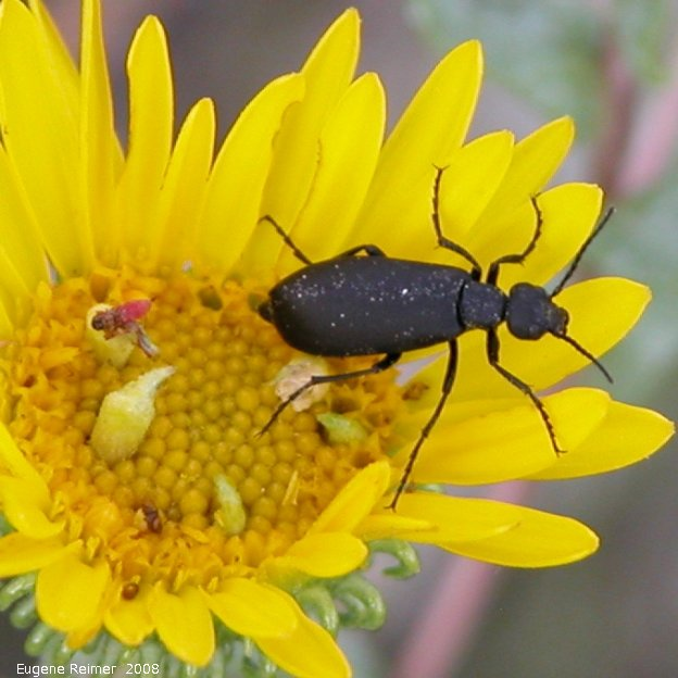 IMG 2008-Aug07 at Winnipeg:  Beetle (Coleoptera sp) on Narrow-leaved sunflower (Helianthus maximiliani)