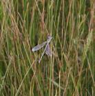 2008-Aug07 at Winnipeg:  Dragonfly (Anisoptera sp) bad
