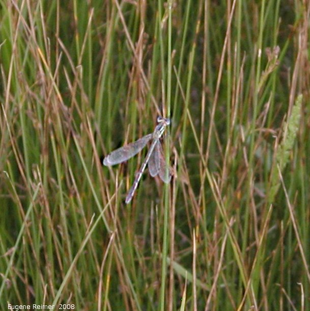 IMG 2008-Aug07 at Winnipeg:  Dragonfly (Anisoptera sp) bad