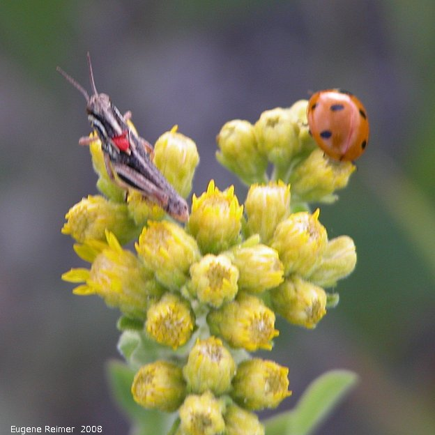 IMG 2008-Aug07 at Winnipeg:  Grasshopper (Caelifera sp) + Ladybug (Coccinellidae sp) on Goldenrod (Solidago sp)