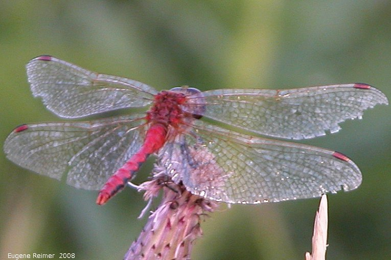 IMG 2008-Aug07 at Winnipeg:  Dragonfly (Anisoptera sp) red