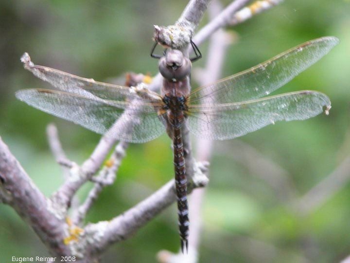 IMG 2008-Aug11 at Steeprock MB:  Canada darner dragonfly (Aeshna canadensis) appears to be dead