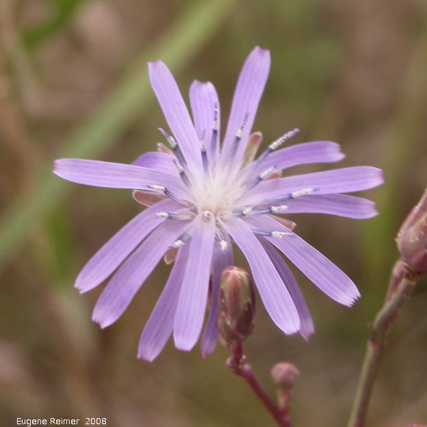 IMG 2008-Aug23 at the Jim and Marcella Towle property near Senkiw-MB:  Blue lettuce (Lactuca biennis) flower