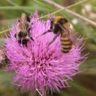 2008-Aug23 at the Crow-Wing Trail near Senkiw-MB:  Bee (Apoidea sp) two kinds on Flodmans thistle (Cirsium flodmanii)