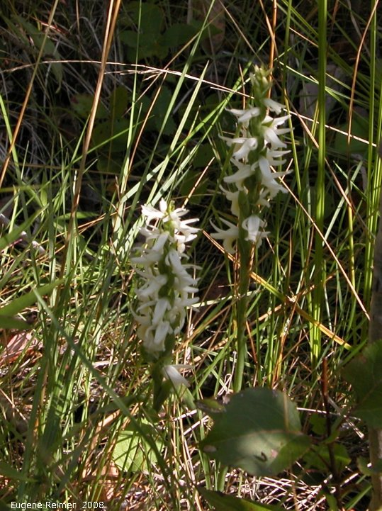 IMG 2008-Sep06 at Rat-River-Swamp (Tracking Down Ladies-tresses):  Great-plains ladies-tresses (Spiranthes magnicamporum)