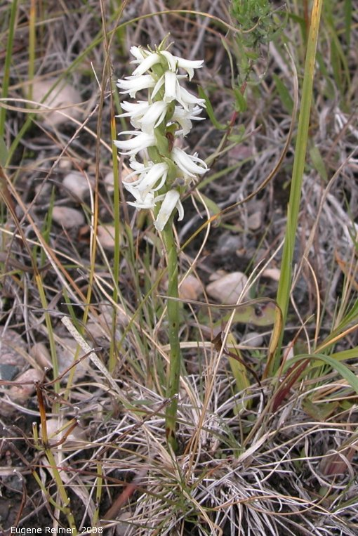 IMG 2008-Sep11 at Roseau Rapids Rd North:  Great-plains ladies-tresses (Spiranthes magnicamporum) plant
