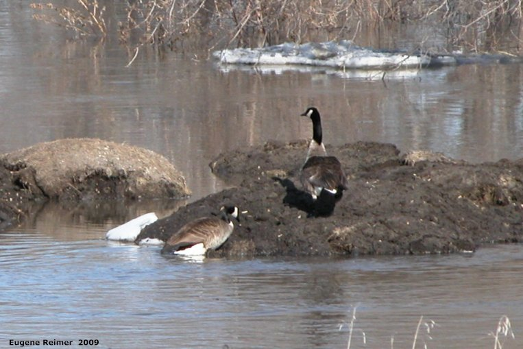 IMG 2009-Apr10 at Selkirk MB:  Canada goose (Branta canadensis) pair claiming a tiny island