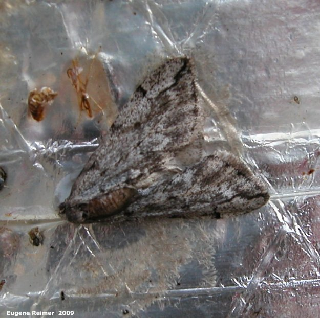 IMG 2009-Apr15 at Kingston Crescent:  Cankerworm moth (Paleacrita vernata) male