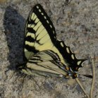 2009-Jun16 at Contour:  Tiger swallowtail butterfly (Papilio glaucus)