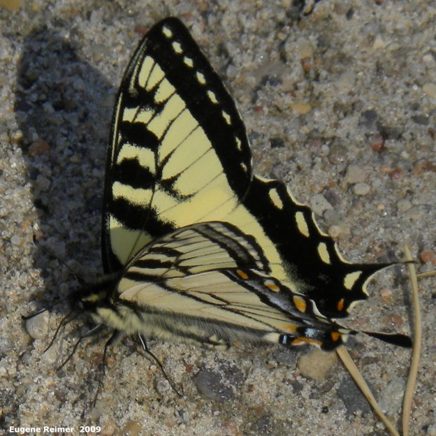 IMG 2009-Jun16 at Contour:  Tiger swallowtail butterfly (Papilio glaucus)