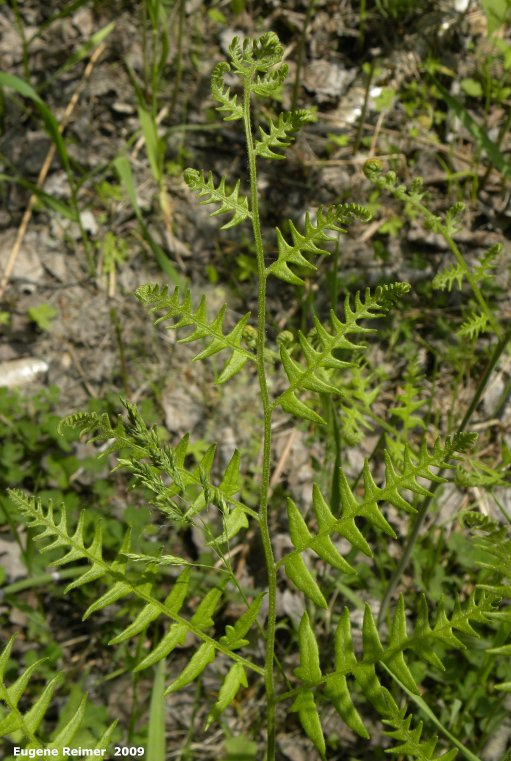 IMG 2009-Jun16 at Whitemouth River Ski Trails near Hadashville - Red Trail:  Bracken fern (Pteridium aquilinum) just coming out