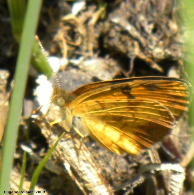 IMG 2009-Jun20 at pr203 near Woodridge MB:  Skipper (Hesperiidae sp)