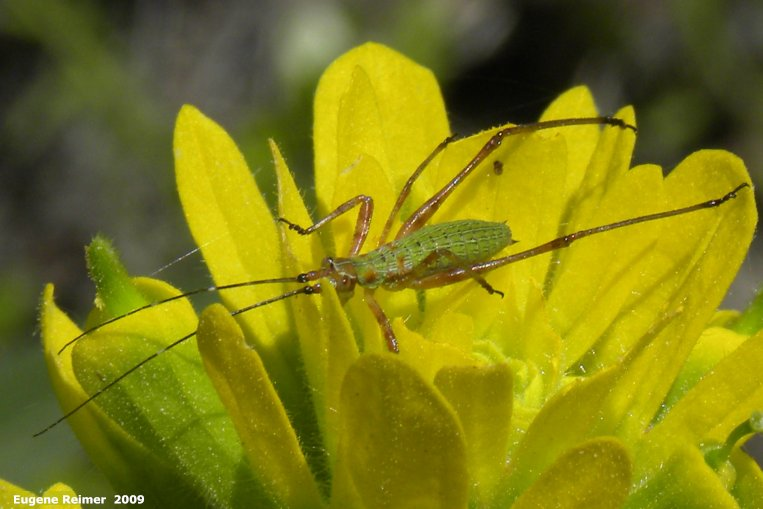 IMG 2009-Jun20 at pr203 near Woodridge MB:  Scudders katydid (Scudderia sp) nymph on Yellow paintbrush (Castilleja sp)