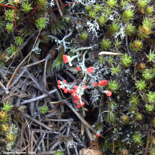 IMG 2009-Jul01 at near Manigotagan River and pr314:  British-soldiers club-lichens (Cladonia cristatella)