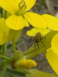 2009-Jul04 at Portage Sandhills:  Cabbage weevil (Ceutorhynchus sp)? on Wallflower mustard (Erysimum cheiranthoides)