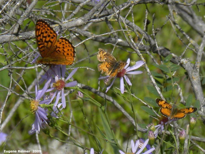 IMG 2009-Jul30 at Nopiming Provincial Park:  Fritillary butterfly (Argynnini sp) + Checkerspot butterfly (Chlosyne sp) + Pearl-crescent butterfly (Phyciodes tharos) on Smooth aster (Symphyotrichum laeve)