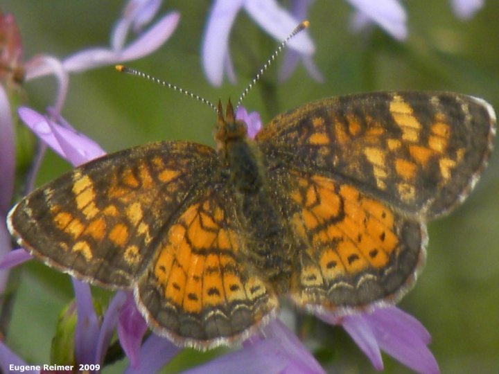 IMG 2009-Jul30 at Nopiming Provincial Park:  Pearl-crescent butterfly (Phyciodes tharos) on Smooth aster (Symphyotrichum laeve)