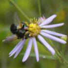 2009-Jul30 at Nopiming Provincial Park:  Syrphid-fly (Syrphidae sp) on Smooth aster (Symphyotrichum laeve)