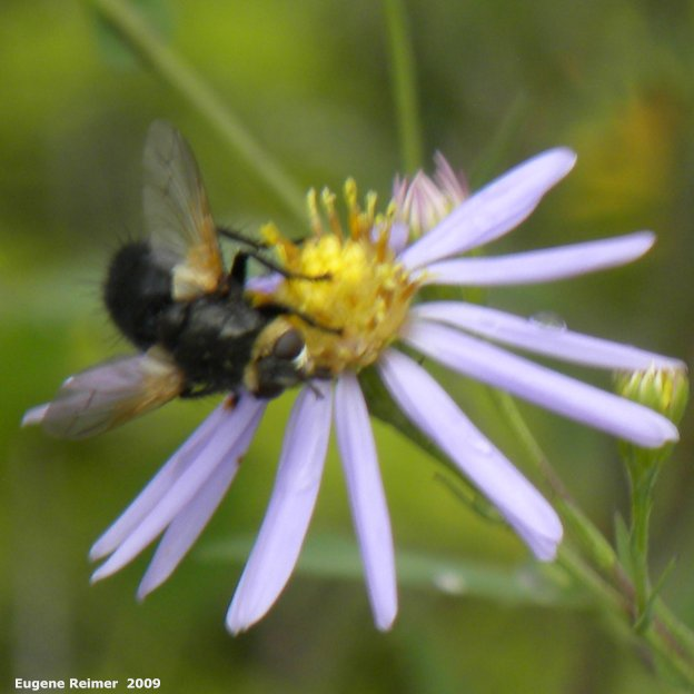 IMG 2009-Jul30 at Nopiming Provincial Park:  Syrphid-fly (Syrphidae sp) on Smooth aster (Symphyotrichum laeve)