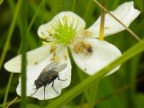 2009-Aug08 at Tolstoi/Gardenton TGPP Prairie-Day:  Fly (Diptera sp) on Canada anemone (Anemone canadensis)