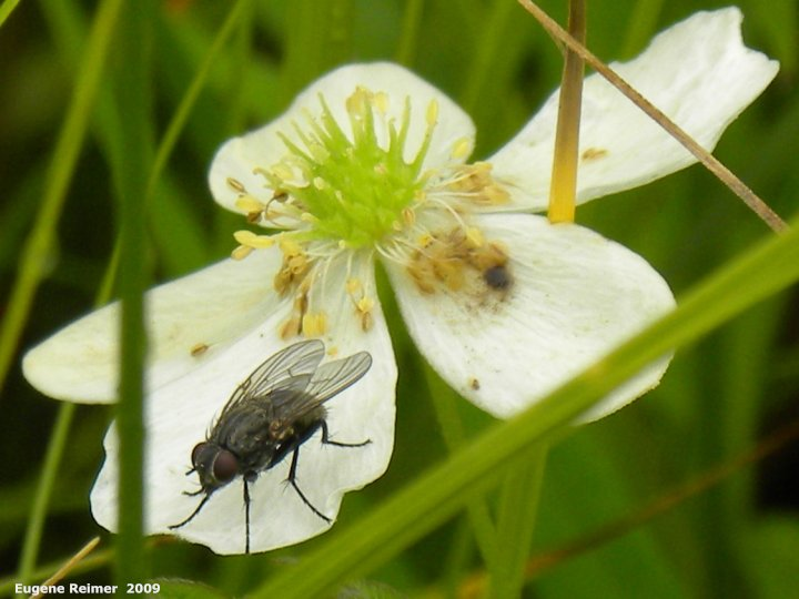 IMG 2009-Aug08 at Tolstoi/Gardenton TGPP Prairie-Day:  Fly (Diptera sp) on Canada anemone (Anemone canadensis)