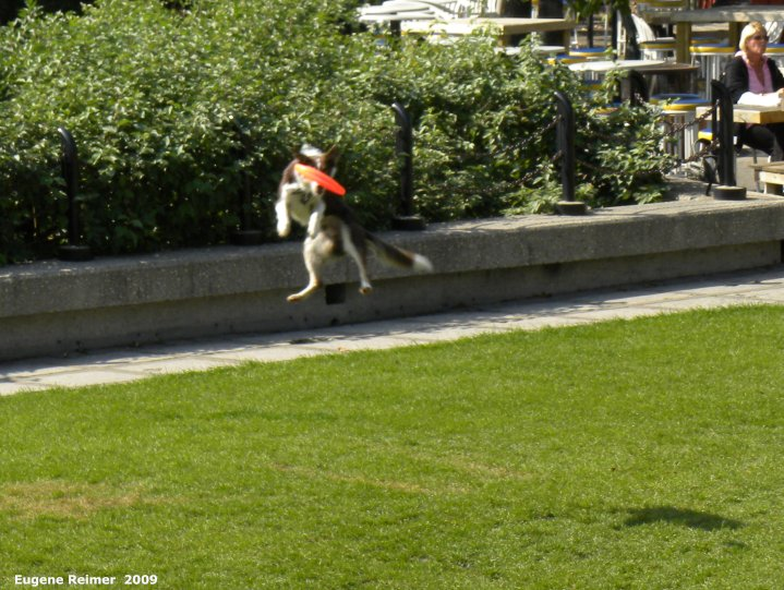 IMG 2009-Sep14 at The Forks:  Dog (Canis lupus familiaris) catching frisbee
