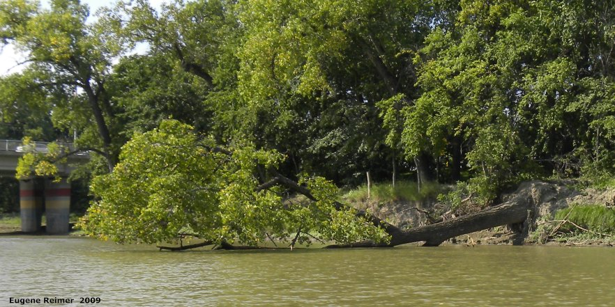 IMG 2009-Sep14 at Assiniboine River by boat:  Eastern cottonwood (Populus deltoides) toppled
