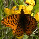 2010-May28 at Kleefeld:  Fritillary butterfly (Argynnini sp) on Hoary puccoon (Lithospermum canescens)