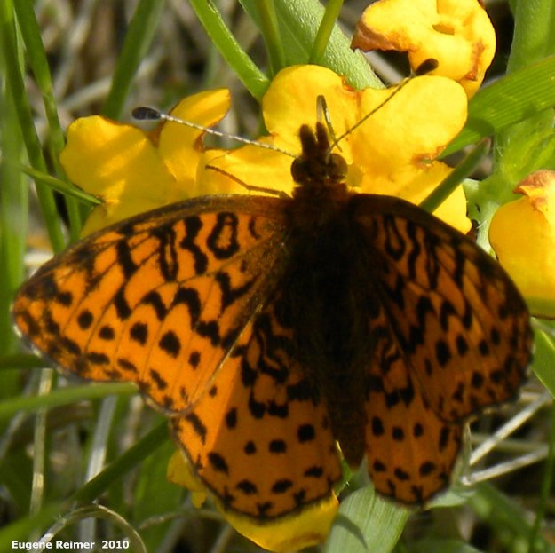 IMG 2010-May28 at Kleefeld:  Fritillary butterfly (Argynnini sp) on Hoary puccoon (Lithospermum canescens)