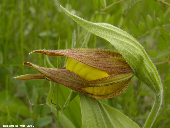 IMG 2010-Jun03 at TCH near Paradise Village:  Large-variety yellow ladyslipper (Cypripedium parviflorum var pubescens) bud