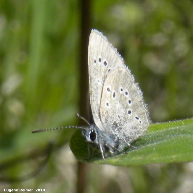 IMG 2010-Jun07 at Belair Travel Manitoba Media Tour:  Blue butterfly (Polyommatinae sp)