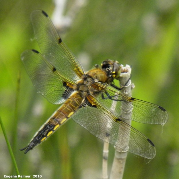 IMG 2010-Jun15 at Birds Hill Park:  Four-spotted skimmer dragonfly (Libellula quadrimaculata)