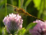 2010-Jul18 at Winnipeg:  Meadowhawk dragonfly (Sympetrum sp) female on Red clover (Trifolium pratense)
