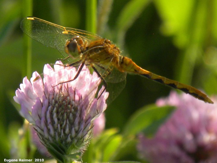 IMG 2010-Jul18 at Winnipeg:  Meadowhawk dragonfly (Sympetrum sp) female on Red clover (Trifolium pratense)