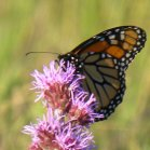 2010-Jul18 at Winnipeg:  Monarch butterfly (Danaus plexippus) on Meadow blazing-star (Liatris ligulistylis)