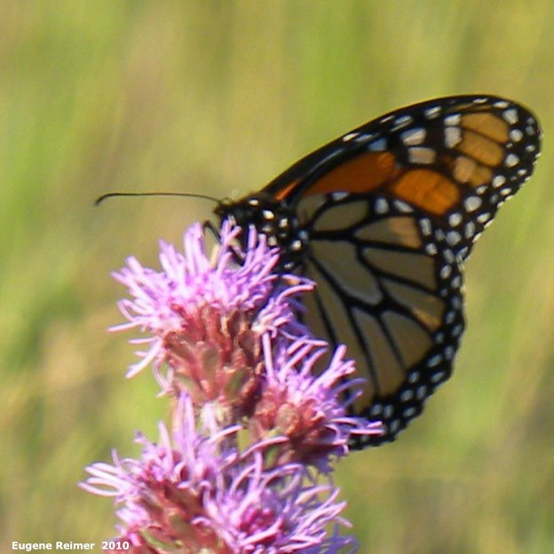 IMG 2010-Jul18 at Winnipeg:  Monarch butterfly (Danaus plexippus) on Meadow blazing-star (Liatris ligulistylis)