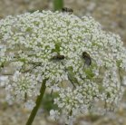 2010-Aug30 at Winnipeg:  Queen-Annes-lace (Daucus carota) with Blow fly (Calliphoridae sp)?