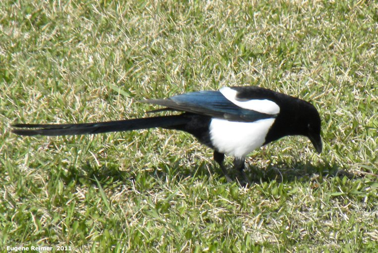 IMG 2011-Apr29 at St-Mary's Rd and SE-Winnipeg or East side of Red River:  Black-billed magpie (Pica hudsonia)
