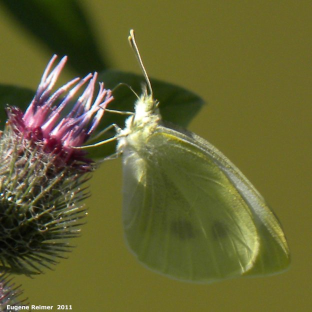 IMG 2011-Aug09 at Winnipeg:  Cabbage white butterfly (Pieris rapae) on Woolly burdock (Arctium tomentosum)